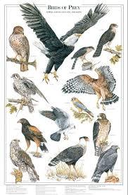 Birds Of Prey I Identification Chart Bird Identification