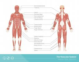 The top half of the body, the head, houses the control center organ of the body called the brain. Muscular System Definition Function And Parts Biology Dictionary