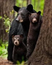Image result for domestic cat and black bears