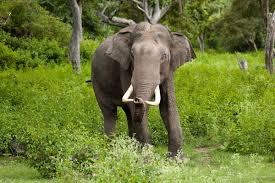 essay of elephant essay on the elephant for school students  african elephant essays african elephant essays