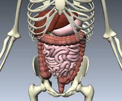 """Résultat de recherche d'images pour """"aparatul digestiv uman"""""""