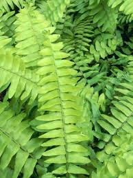 types of ferns and their names. hard fern types of ferns and their names