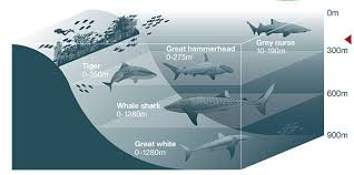 Ultimate Guide To Australian Sharks Australian Geographic