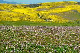 california spring wildflowers cover the hills and cayons in san luis obispo county