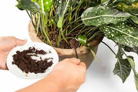 spooning coffee ground into a plants soil