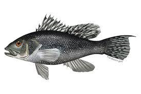 Black Sea Bass Noaa Fisheries