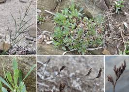 Limonium laetum (Nyman) Pignatti - The flora of the Asinara ...