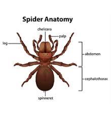 Spider Anatomy Chart Spider Anatomy Vector Images 77