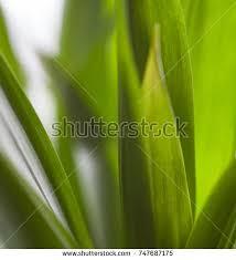 grass blade close up. Green Grass. Blades Of Long Juicy Stems. Close-up. Grass Blade Close Up