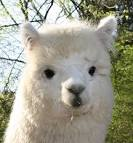 「alpaca」の画像検索結果