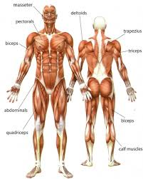 There are around 650 skeletal muscles within the typical human body. Muscle Anatomy Quiz Health Images Reference