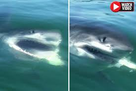 great white shark attack. Wonderful Attack The Great White Shark Attack Intended Great White Shark Attack
