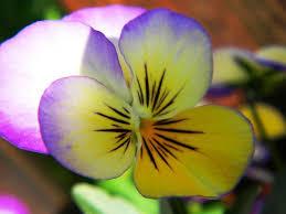 Risultati immagini per la penseee fiore