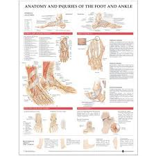 Ankle Bone Chart Anatomy And Injuries Of The Foot And Ankle