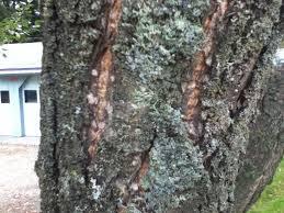 Plum Trees For Sale  Buy Plum Trees From Stark Brou0027sPlum Tree Not Producing Fruit
