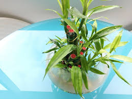 how fast does lucky bamboo grow