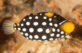 clown triggerfish.  Triggerfish Clown Triggerfish With T