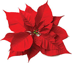 With its beautiful, red, star-shape poinsettia is a favorite flower in the  United States. In Central America it is called the