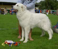 white bernese mountain dog. Beautiful Mountain White Bernese Mountain Dog And N