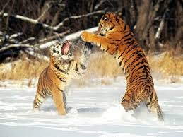 siberian tiger vs bengal tiger. Beautiful Siberian Siberian Tiger Vs Bengal  In Vs E