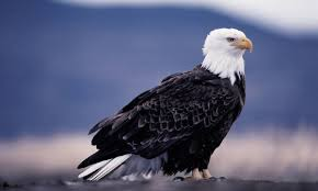 Small Picture Bald Eagle Facts For Kids Bald Eagle Habitat Behavior