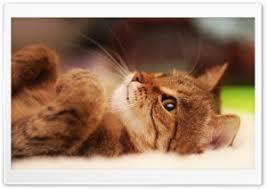cat lying on back hd wide wallpaper for 4k uhd widescreen desktop smartphone