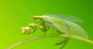 garden pest. Green Lacewings - Aka Aphid Lion Feeding Garden Pest