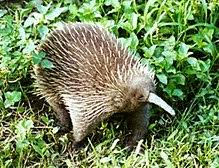 echidna puggle full grown. Exellent Grown The Western Longbeaked Echidna Which Is Endemic To New Guinea Throughout Echidna Puggle Full Grown