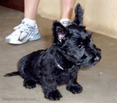 scottish terrier puppies. Exellent Terrier Front Side View  A Black Scottish Terrier Puppy Is Sitting On A Concrete  Surface Looking On Puppies