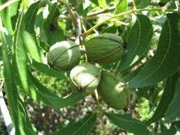 Century Farm Orchards WinesapFruit Trees In Kansas