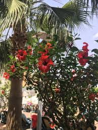 <b>Цветок каркаде</b>, описание и фото, как вырастить на улице и в ...