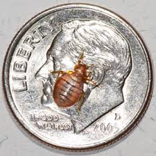 Bedbugs Images Top 10 Myths About Bedbugs Slide Show Scientific American