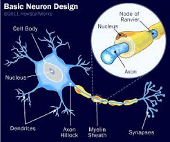 Neuron Structure How Your Brain Works Howstuffworks