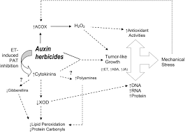 Role of reactive oxygen species in auxin herbicide phytotoxicity: current  information and hormonal implications — are gibberellins, cytokinins, and  polyamines involved?