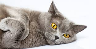 British Shorthair A Complete Guide From The Happy Cat Site