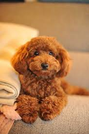 the poodle is actually a group of dog breeds rather than a single breed they are born show dogs excelling at sports obence and even herding