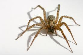 however in general spiders are not really that scary there about 40000 species of them and most couldnu0027t even penetrate a human skin how to kill house d20