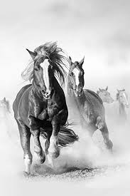 wild white horses running free. Beautiful Horses Poster Foundry Wild Mustang Horses Running Galloping Free Black White Photo  Stretched Canvas Wall Art 16x24 On I