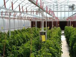 indoor tomato garden. Hydroponic Tomatoes 1 Month After Transplanting Indoor Tomato Garden