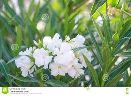 Oleander Bush. Bright White Oleander Flowers. Nerium Oleander Tree In  Blossom Stock Photo - Image of color, climate: 75407612
