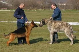 pitbull dog vs wolf. Fine Pitbull Pitbull Dog Vs Wolf  Photo27 In Dog Vs Wolf