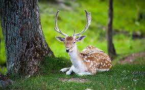 Deer wallpaper, Nature animals, Animals