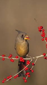 desert cardinals eating possumhaw holly berries in starr county texas c bill