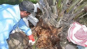 نتيجة بحث الصور عن الاصابة بحشرة سوسة النخيل في سفوان