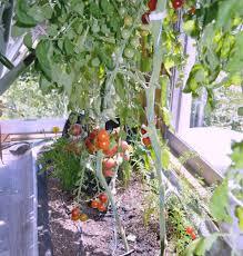 tomato indoor vegetable garden