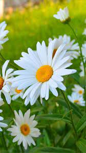 White chamomile flowers, petals, summer ...