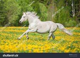 white horses running. Unique White Beautiful White Horse Running On The Field With Dandelions Throughout White Horses Running R