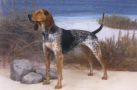 Bluetick Coonhound Size Chart American English Coonhound