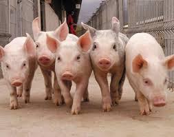Под Молодечно собираются строить ещё один свинокомплекс Что  Под Молодечно собираются строить ещё один свинокомплекс Что скажет общественность