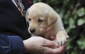 gundog puppy training